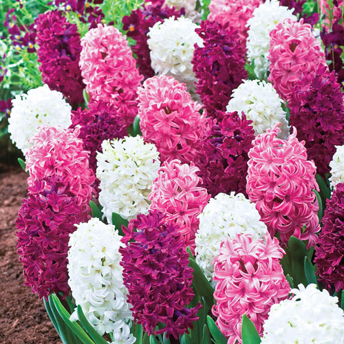 Deluxe Hyacinth Trio