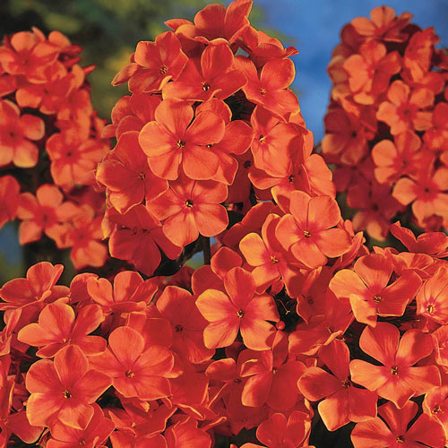 Orange Perfection Tall Phlox
