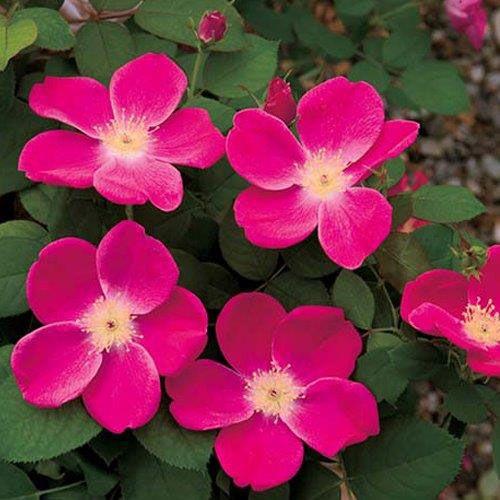Pink Home Run® Shrub Rose