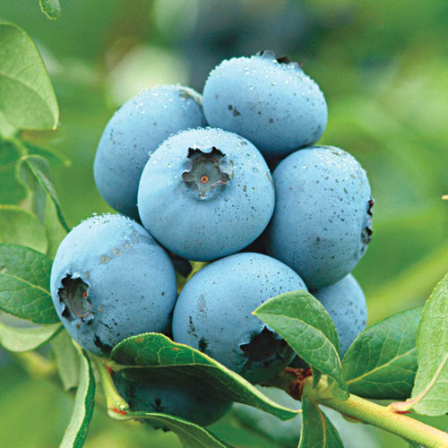 Semi-Dwarf Northland Blueberry