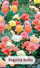 Begonias Bulbs