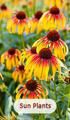 Sun Plants