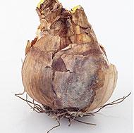 Dormant Bulb 3