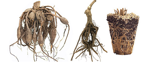 Bareroot Dormant Plants
