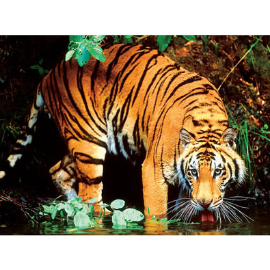 Bengal Tiger 1000 Piece Jigsaw Puzzle