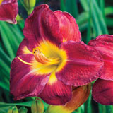 Passion for Red Daylily