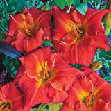 Desert Flame Daylily
