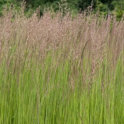 Grasses and Sedges