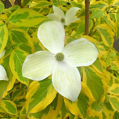 Summer Gold Flowering Dogwood