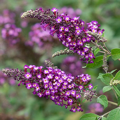 Polka Dot Butterfly Bush