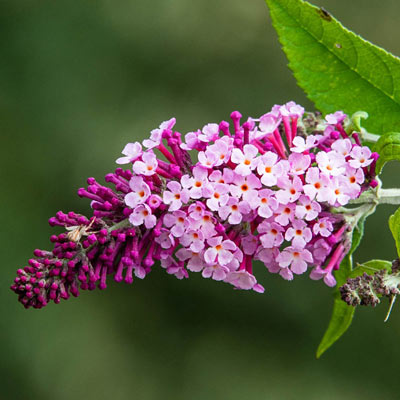 Perfect Pyramid Butterfly Bush