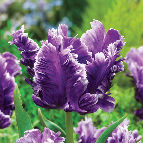 Mysterious Parrot Tulip