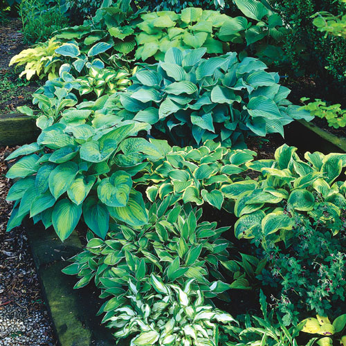 Hosta Mix Super Bag