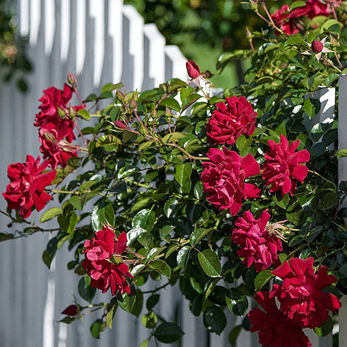 Spring Hill's Red Freedom™ Rose