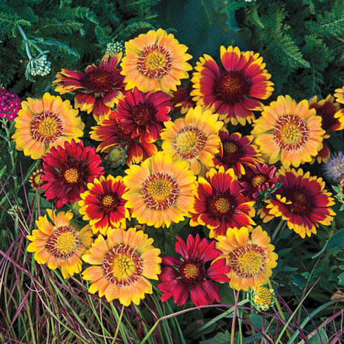 Arizona Sun Gaillardia Collection