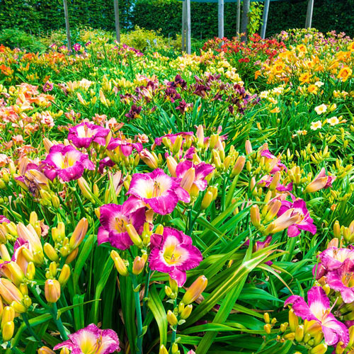 Fragrant Reblooming Daylily Value Collection