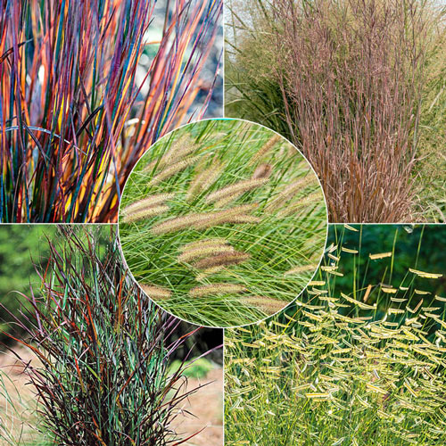 Best Grasses for Sunny Borders Collection