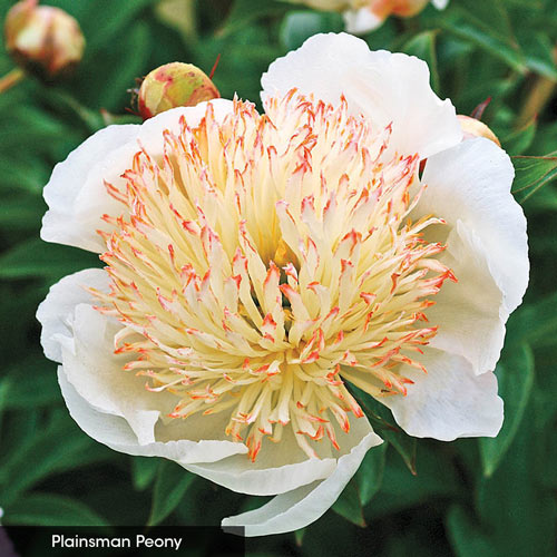 Bombes Away Peony Collection