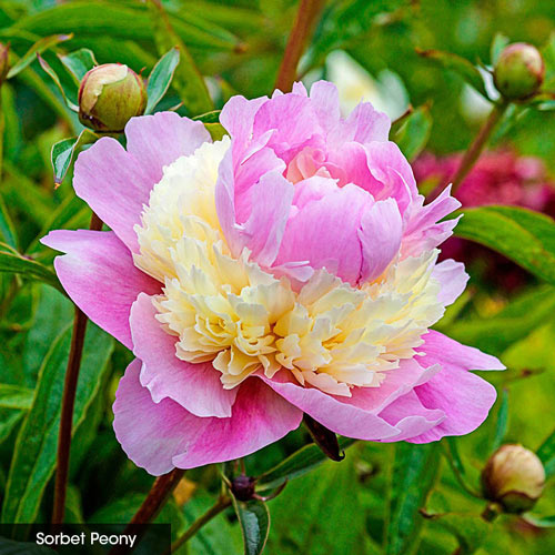 Passionately Perfumed Peony Collection
