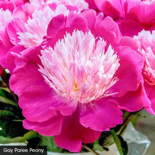 The Works– A Complete Peony Garden