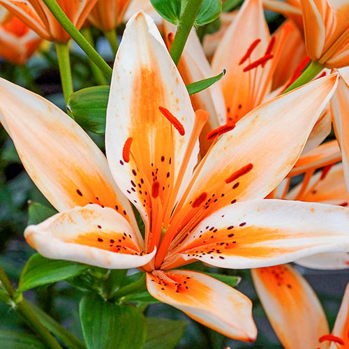 Sunset Asiatic Lily Trio