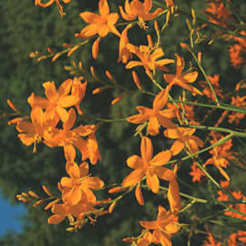 Gold Rush™ Crocosmia