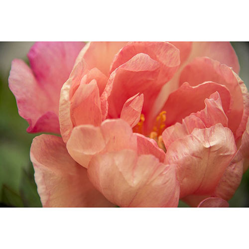 Singing in the Rain Itoh Peony