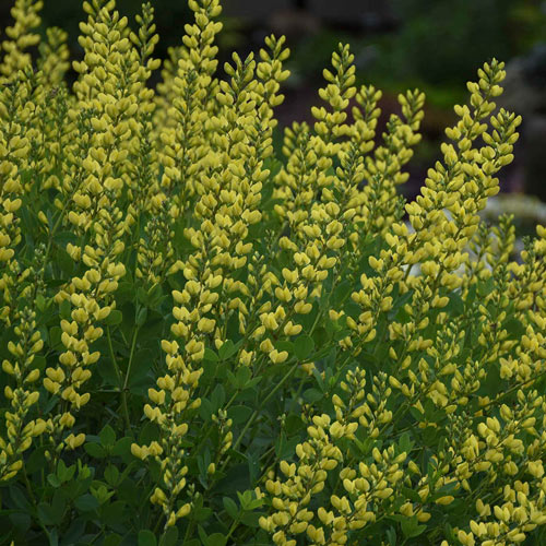 Goldfinch Baptisia