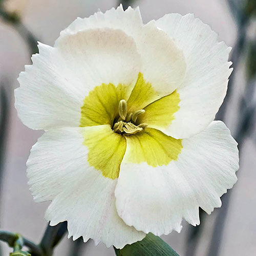 Key Lime Pie Dianthus