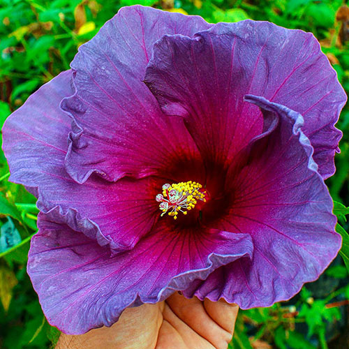 Summer Spice® Grape Sorbet™ Hibiscus