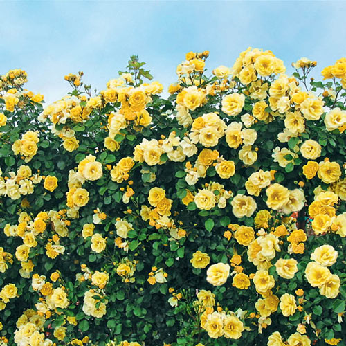 Sky's the Limit<sup>™</sup> Climbing Rose