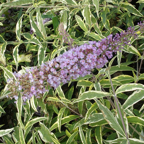 Summer Skies<sup>&trade;</sup> Butterfly Bush
