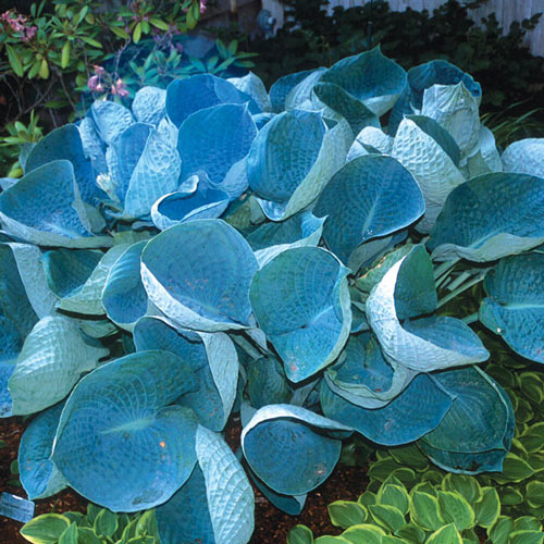 Award Winning Hosta Value Collection