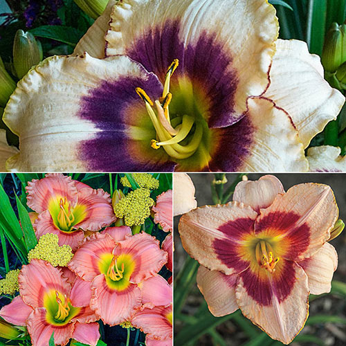 Twice as Sweet Fragrant Reblooming Daylilies