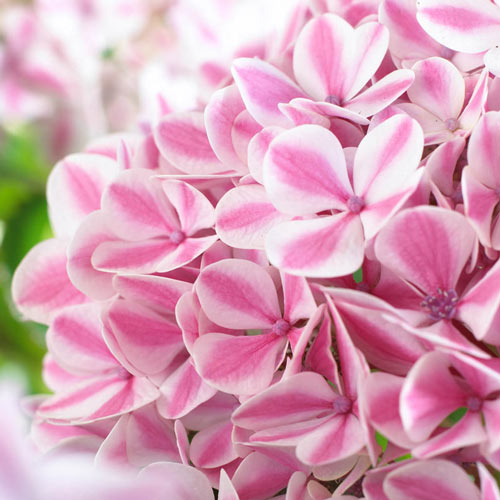 Peppermint Forever and Ever<sup>&reg;</sup> Hydrangea