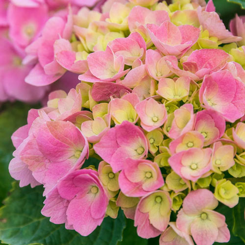 Early Sensation Forever and Ever<sup>&reg;</sup> Hydrangea