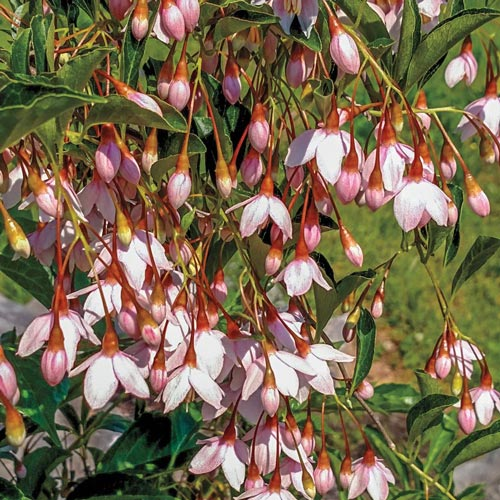 Marley's Pink<sup>®</sup> Japanese Snowbell