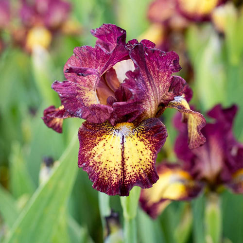 Red Hot Chili KickStart™ Reblooming Iris