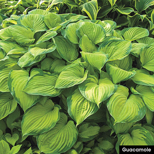 Award-Winning Hosta Collection