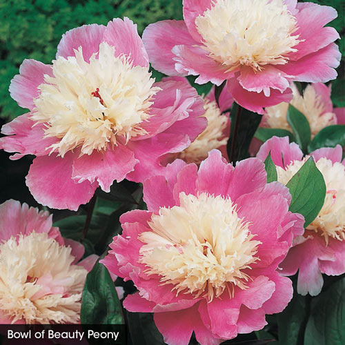 Fantastic Frills Peony Collection