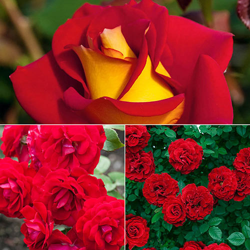 Red Jumbo Rose Sampler