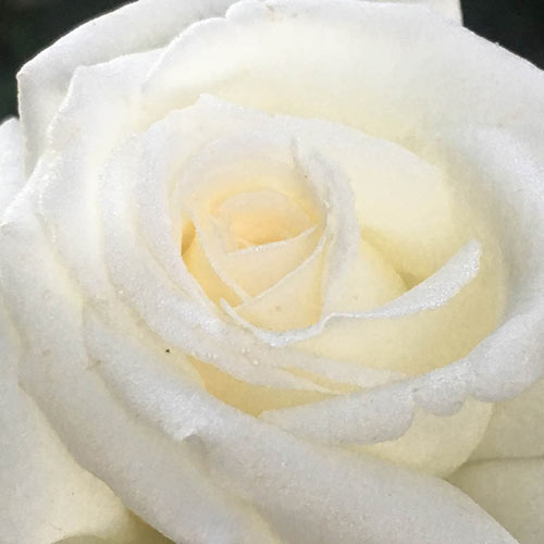 White Jumbo Rose Sampler