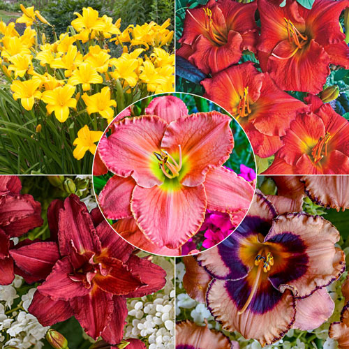 Reblooming Daylily Select Collection