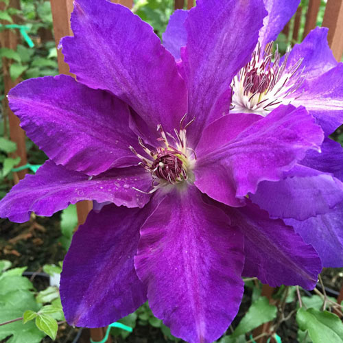 Plum Gorgeous Vancouver™ Clematis