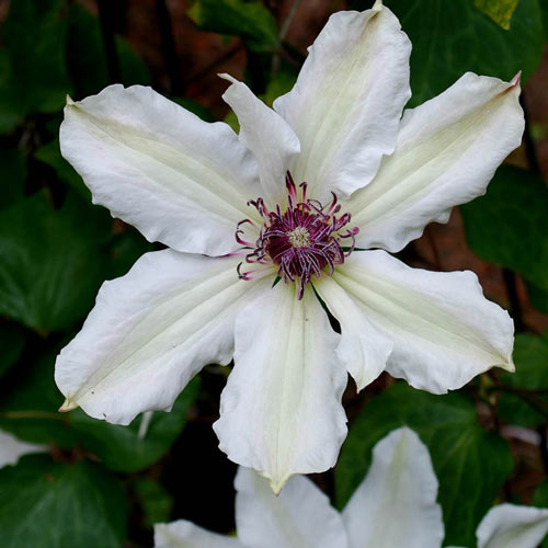 Fragrant Star Vancouver™ Clematis
