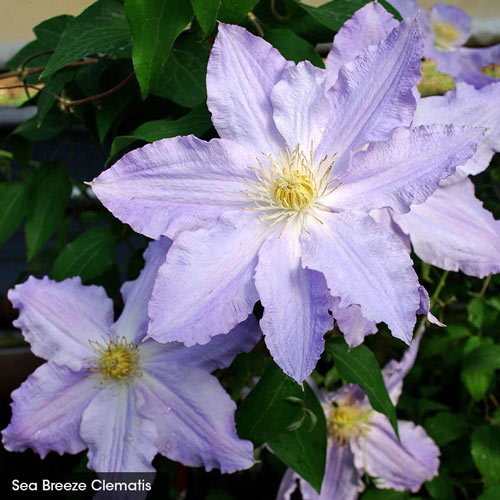 The Works - Vancouver Clematis Collection
