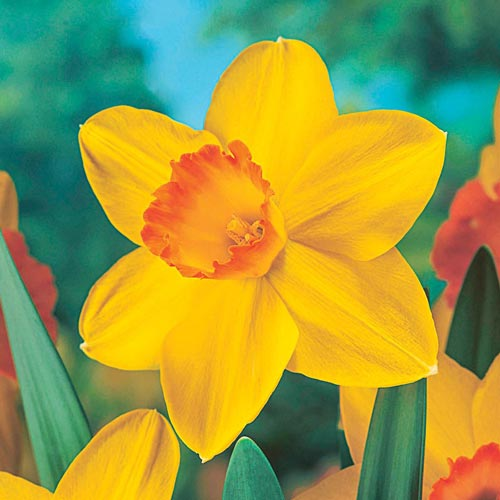 Fortune Large Cupped Daffodil