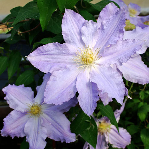 Sea Breeze Vancouver™ Clematis