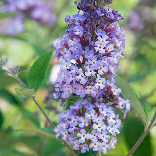 Summer of Love Buddleia
