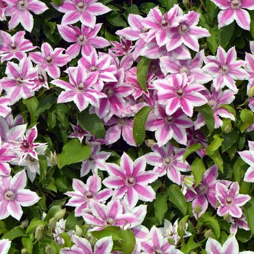 Carnaby Clematis